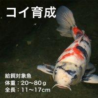 コイ育成P-3