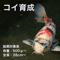 コイ育成P-7